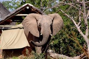 Elefante paseando cerca del campamento en reserva Wild At Tuli