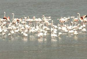 Flamingoes at Nakuru Lake