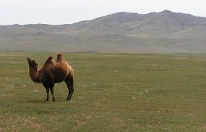 Camel and mountains in Mongolia