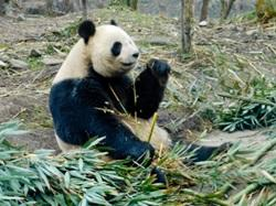 Volunteer Pandas in China with Projects Abroad
