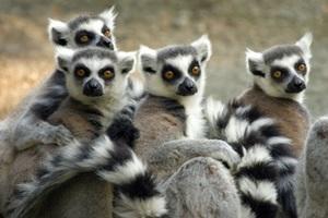 En nuestro proyecto de conservación de Madagascar podrás hacer seguimientos a diferentes especies