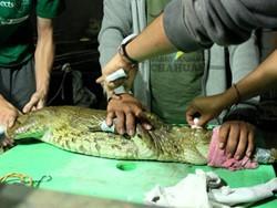 Voluntarios realizando un examen a un bebé cocodrilo en Perú