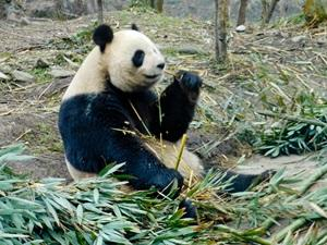 Panda Wildlife Conservation with Projects Abroad