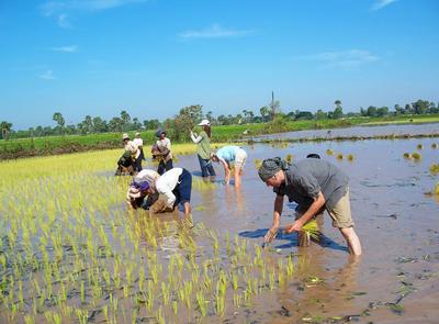 Voluntarios y locales de proyecto Khmer plantando arroz en Camboya